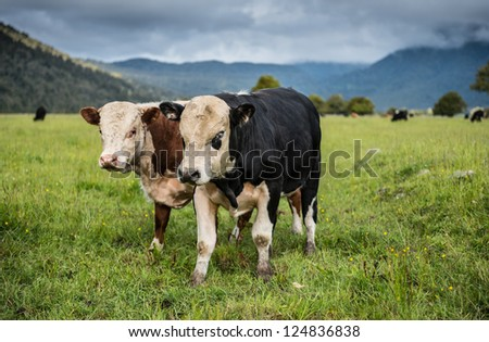 Cows farm in South island, New Zealand. - stock photo