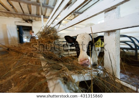 cows feeding in large cowshed. - stock photo