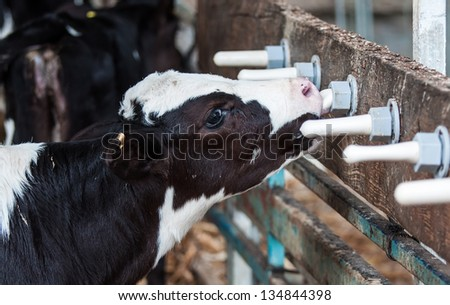 Cows feeding milk in a farm - stock photo