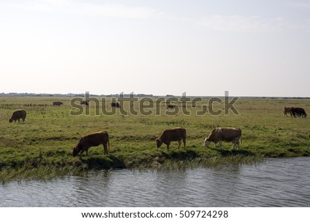 Cows graze in a field at Mando, Denmark. Cows graze in a field at Mando, Denmark.