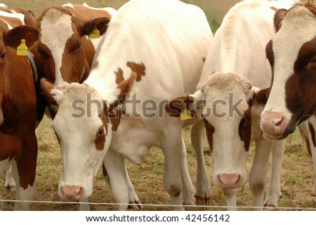 Cows graze in the pasture.