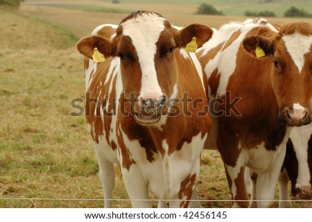 Cows graze in the pasture. - stock photo