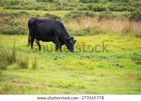Cows graze in the pasture - On the Farm - stock photo