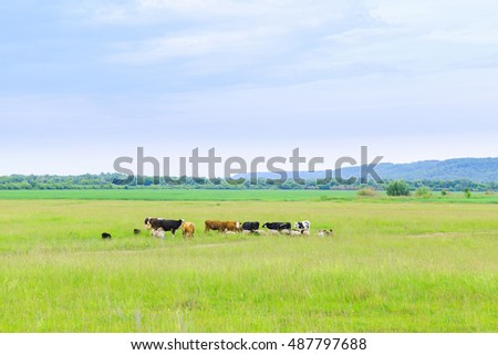 cows graze on a green meadow