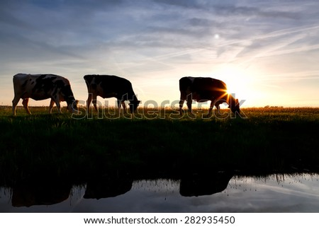 cows graze on pasture by river at sunset - stock photo
