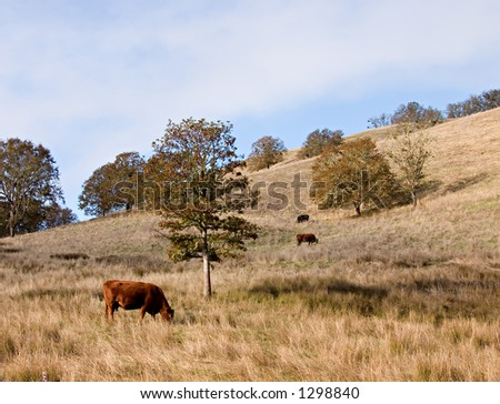 Cows grazing 1