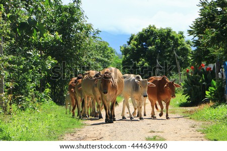 Cows grazing and walking on urban road