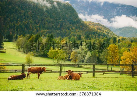 Cows grazing. Beautiful green grass meadow with wooden fence in the Alps. Colorful scenic background. - stock photo