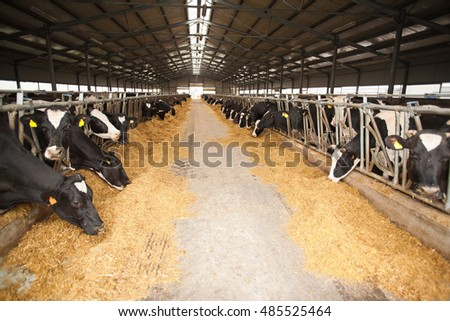 Cows grazing in a large cow farm. Agriculture and industrialization