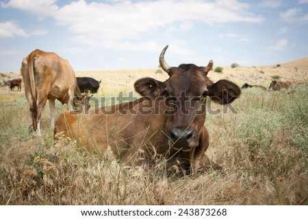 Cows grazing in a meadow - stock photo
