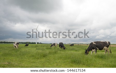 Cows grazing in a meadow in summer - stock photo
