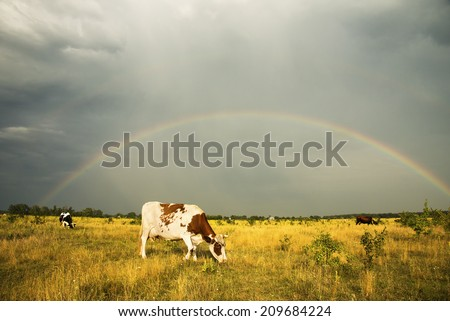 Cows grazing in a meadow. Rainbow in the sky, overcast sky.