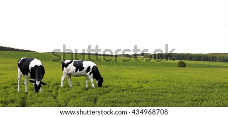 Cows grazing in a summer meadow. - stock photo