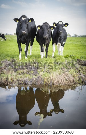 Cows grazing in filed, the Netherlands - stock photo