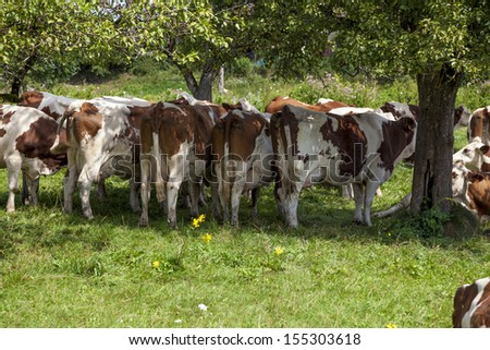 Cows grazing in France - stock photo