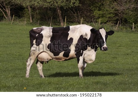 Cows grazing in fresh pasture - stock photo