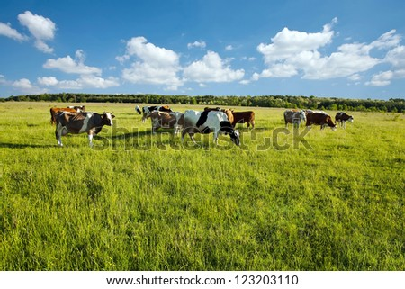 Cows grazing in green meadow - stock photo