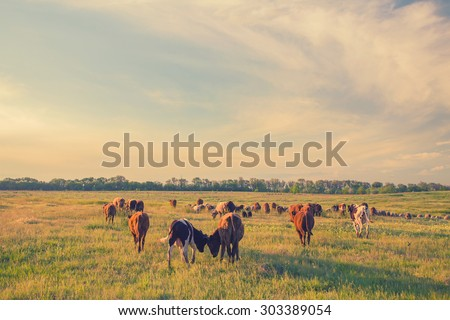 Cows grazing in green meadow. Summer landscape, retro color. - stock photo