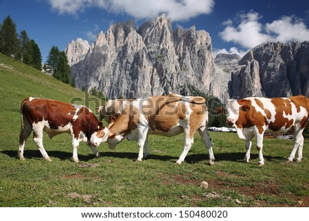 cows grazing in mountain pasture - stock photo