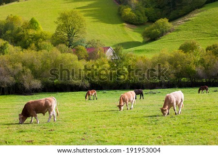 Cows grazing in Pyrenees green autumn meadows at Navarra Spain - stock photo