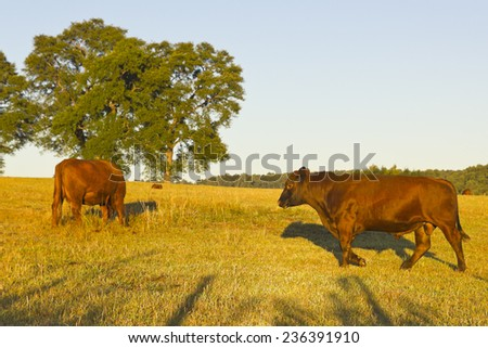 Cows grazing in the pastures of the Chilean Andes, in the village of Malalcahuello in Region, near the Lonquimay volcano. Livestock and agriculture are the main activities in southern Chile - stock photo