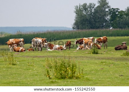 cows grazing in the plains area - stock photo
