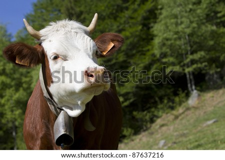 cows grazing in the summer in the Alps - stock photo