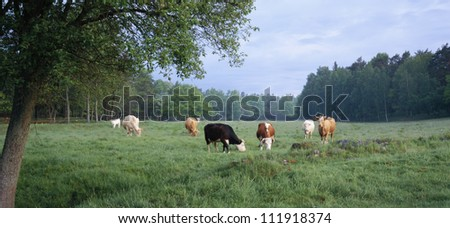 Cows grazing near forest - stock photo