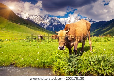 Cows grazing on a alpine meadow at the foot of  Mt. Shkhara. Upper Svaneti, Georgia, Europe. Caucasus mountains. Beauty world. - stock photo