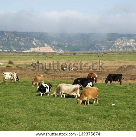 Cows grazing on a farm - stock photo
