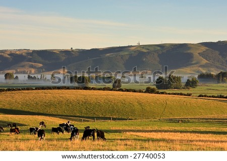 Cows Grazing on a Foggy Morning in Canterbury, New Zealand South Island - stock photo