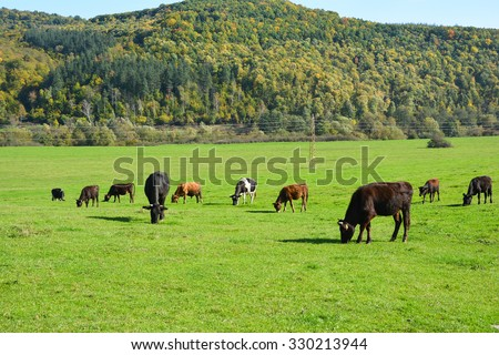 Cows grazing on a green meadow - stock photo