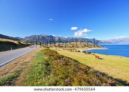 Cows grazing on a green pasture by the lake Hawea, New Zealand