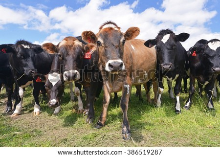 Cows grazing on a green pasture, New Zealand
