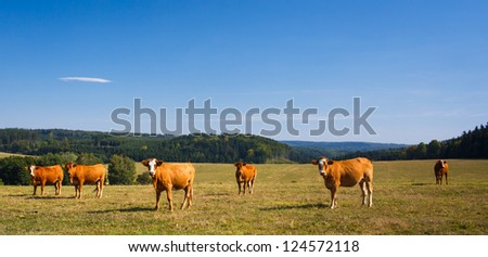 Cows grazing on a lovely green pasture - stock photo