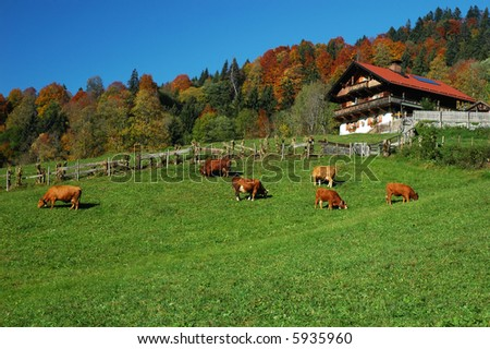 Cows grazing on a mountainside field