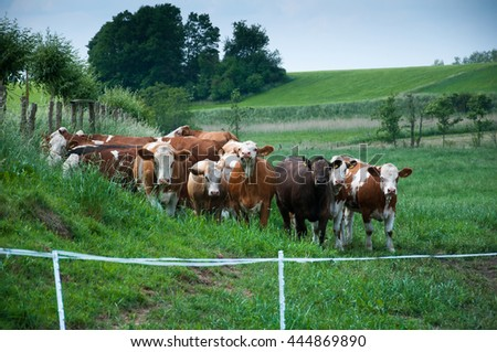 Cows grazing on a pasture - stock photo