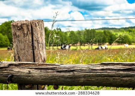 Cows grazing on a summer meadow. Forest on the background, sunny weather with clouds. Focus on the old, wooden fence.