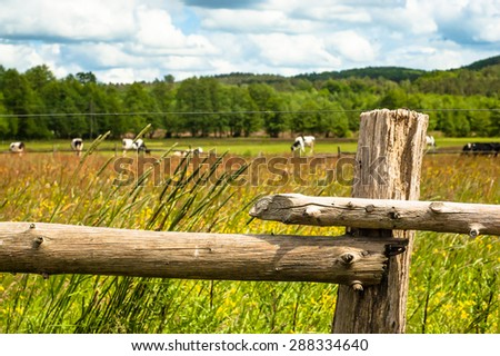 Cows grazing on a summer meadow. Forest on the background, sunny weather with clouds. Focus on the old, wooden fence. - stock photo