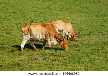 Cows grazing on green grass  - stock photo