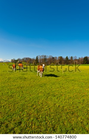 Cows Grazing on Green Pasture in Switzerland - stock photo
