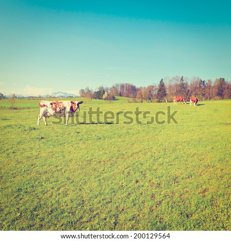 Cows Grazing on Green Pasture in Switzerland, Instagram Effect - stock photo