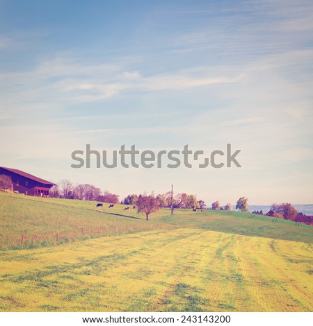 Cows Grazing on Green Pasture near the Cowshed in Switzerland, Instagram Effect - stock photo