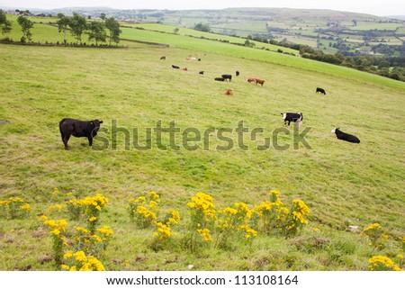 Cows grazing on Irish hillside in Northern Ireland - stock photo