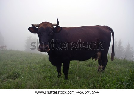 Cows grazing on mountain meadow - stock photo