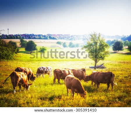 Cows grazing on pasture. Beautiful rural sunny landscape in summer