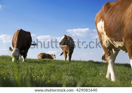 Cows grazing on pasture, blue sky and green grass - stock photo