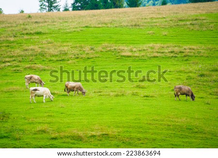 Cows herdis grazing in the mountains