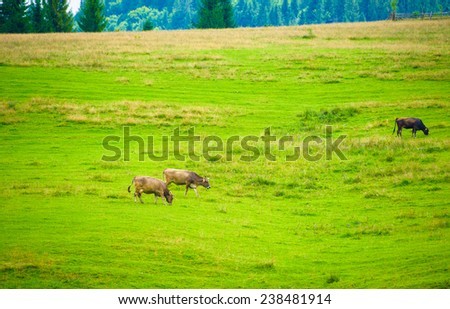 Cows herdis grazing in the mountains - stock photo