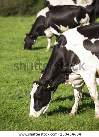 cows in a field, Derbyhsire, UK - stock photo